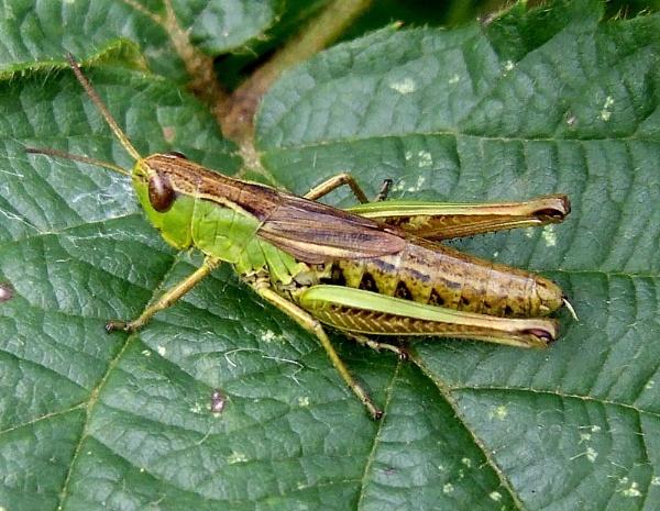 Grasshopper by theeyesoftheblind