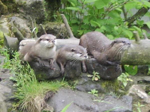 A Trio Of Otters by XxJenny_SheaxX