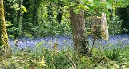 blue bells in spring