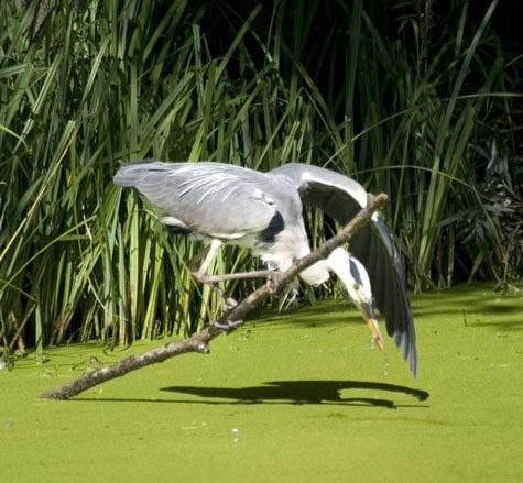 fishing heron by john thompson