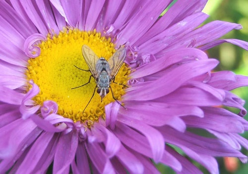 Aster and Fly by it happens