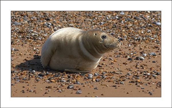 Blakeney Seal by stevebutler