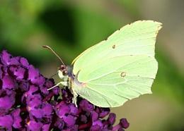 Yellow winged