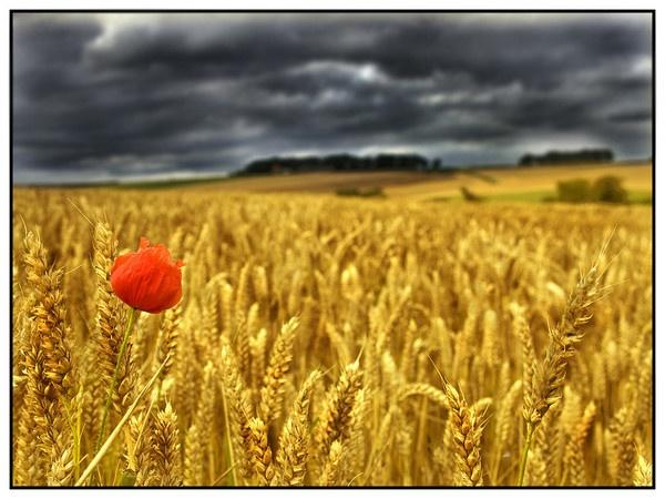 The Last Poppy by john short