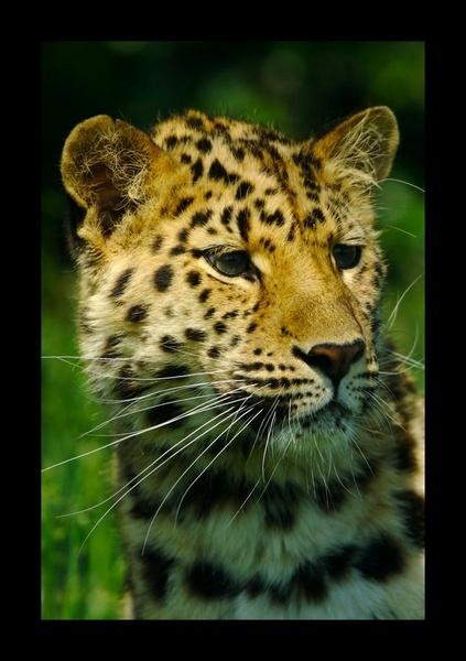 Cheetah by yasika