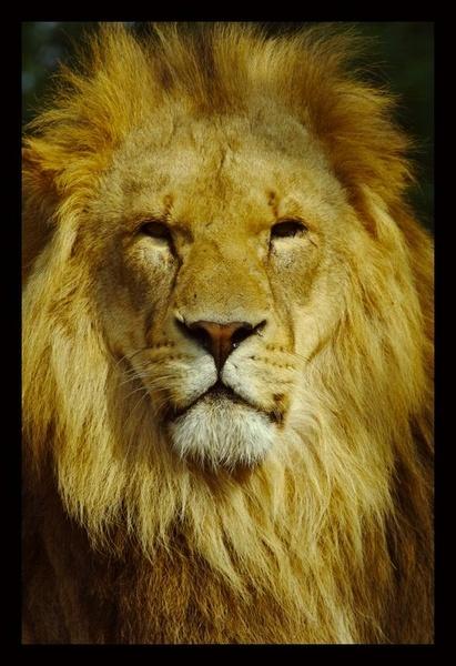 Lion by yasika