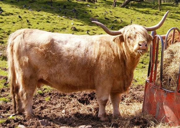 Highland Cow by bpjohn