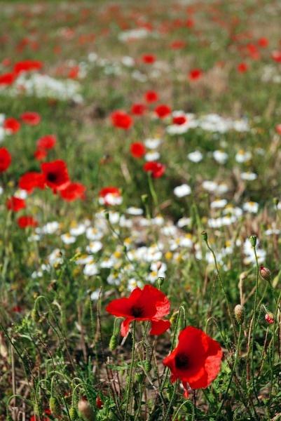 poppys and daisys by KevinJM