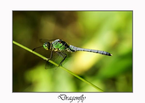 Dragonfly by stevophoto