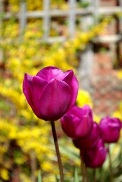 Bouncing Purple Tulips by DunDiggin