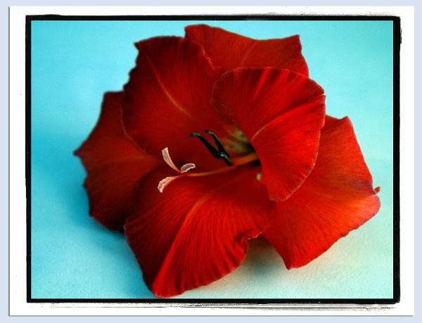 Gladiolus by brayzo