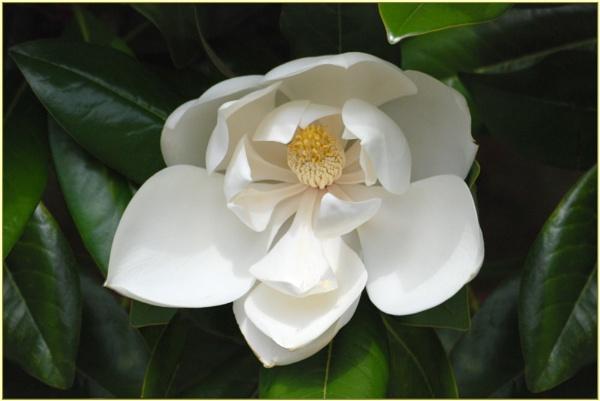 Magnolia Grandiflora by stevebidmead