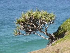 Australian Pandama Tree by auraalan