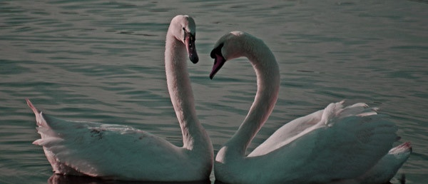 Swans by LOGICONE