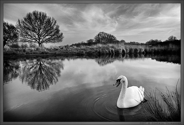 Swan in Richmond Park (BW version) by oisteinth
