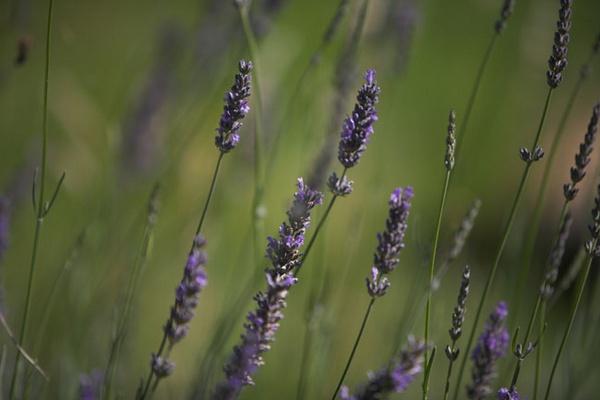 Lavender by photosyouwant