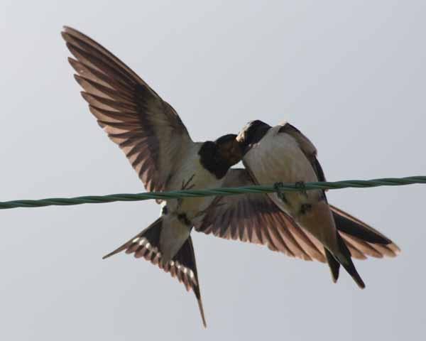 swallows by Matthew_Leyshon