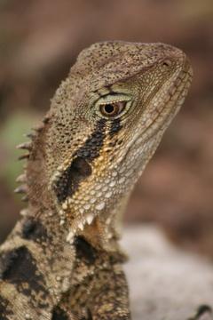Aussie Lizard by Muppet