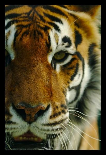 Tiger by yasika