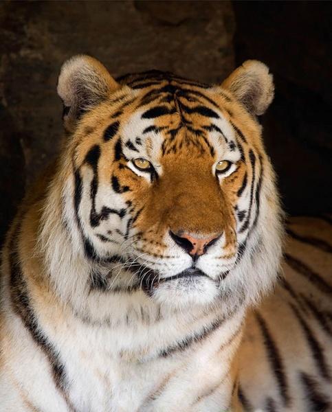 Siberian Tiger by banehawi