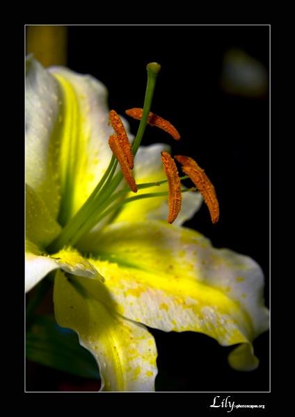 Lily by graeme34