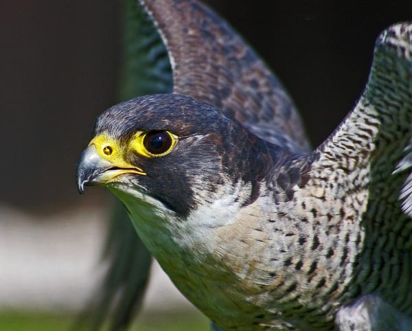 Peregrine falcon by brayzo