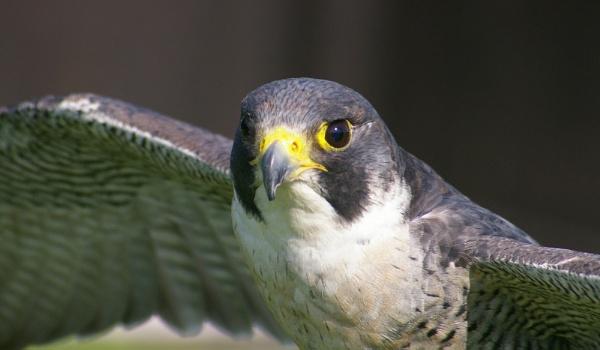 Peregrine falcon 3 by brayzo