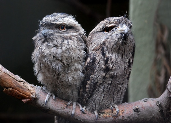 Pair of Tawnies by stevebidmead