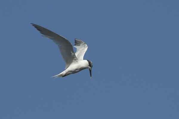 Sandwich Tern by frankkingman