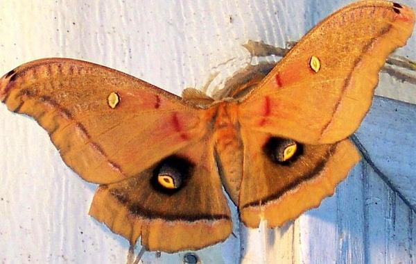 moth 2 by dawnmichelle