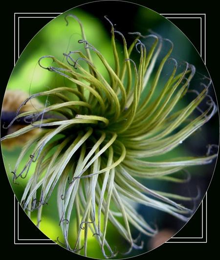 Clematis Seed by derekv