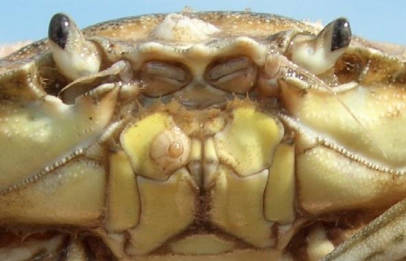 crabface by Isleman