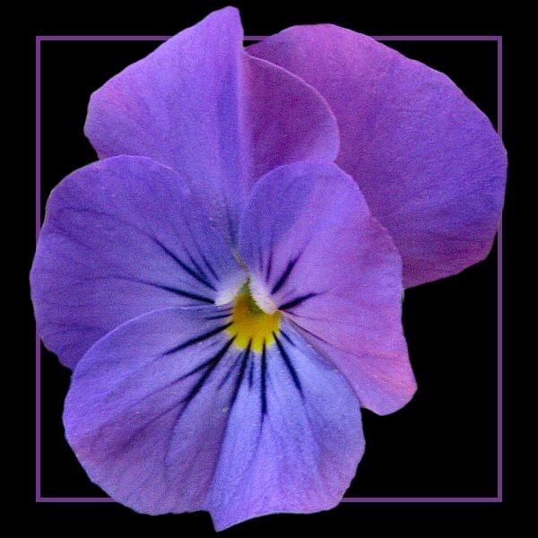 Purple Viola by Arty