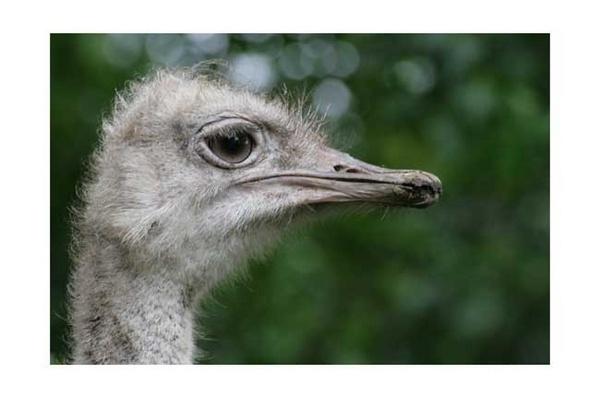 Ostrich by block119er