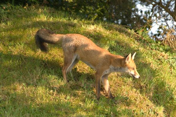 Fox cub by Stuarty