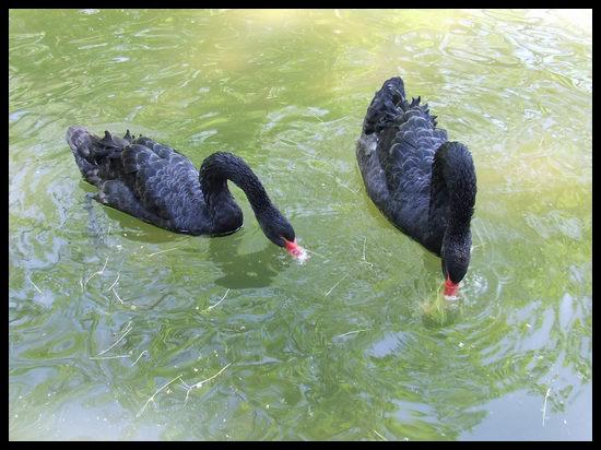 Swan (2) by tupko