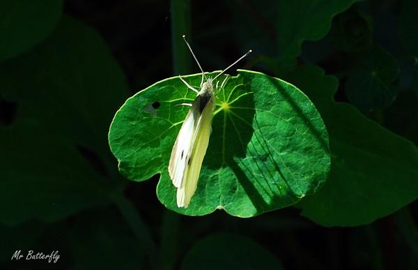 Mr Butterfly by ferguspatterson