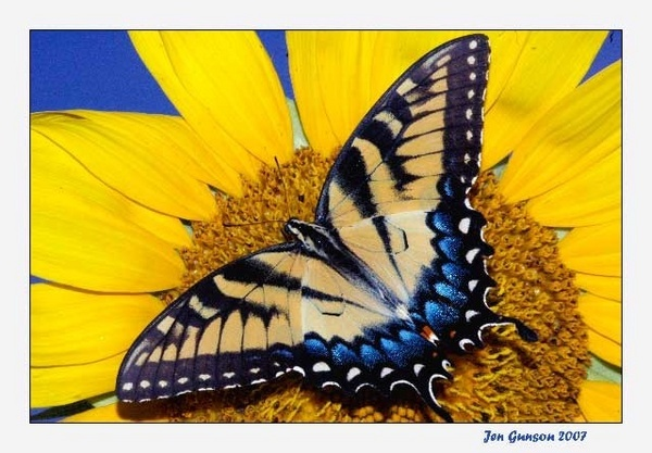 Butterfly/Sunflower by JenG