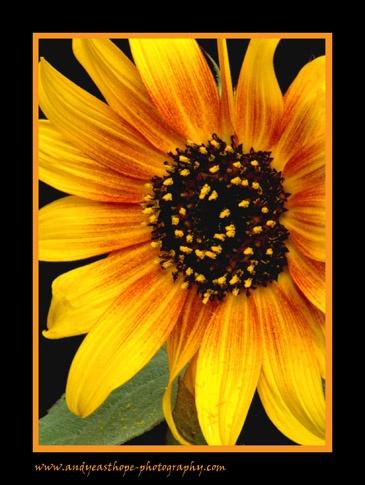 Sunflower by AEasthope67