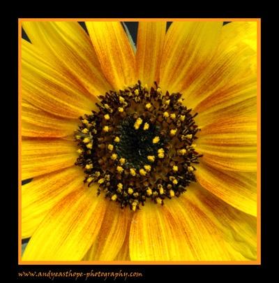 Sunflower II by AEasthope67