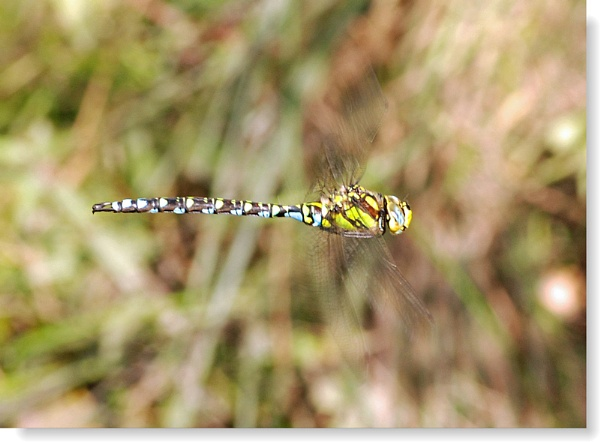Southern Hawker by jmw58