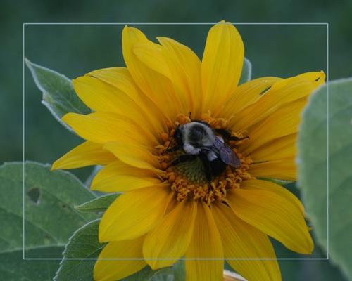 Big Bee or Little Sunflower? by skoffs