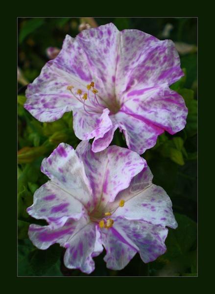 trumpet flowers by CarolG