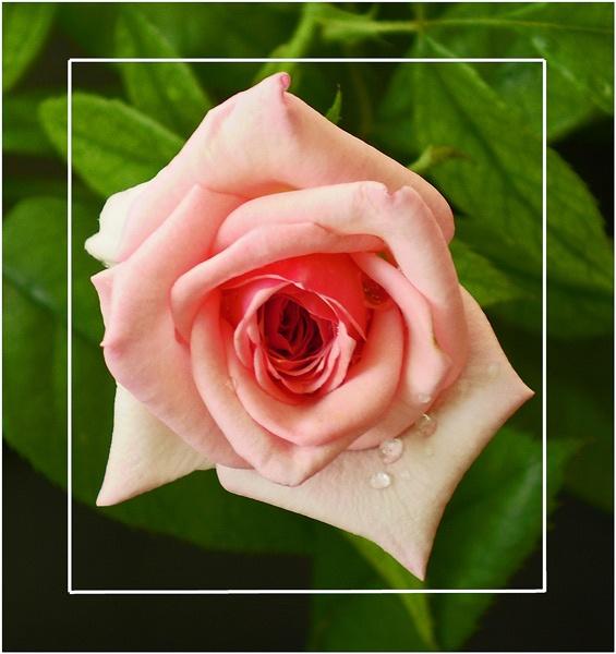 pretty pink by CarolG