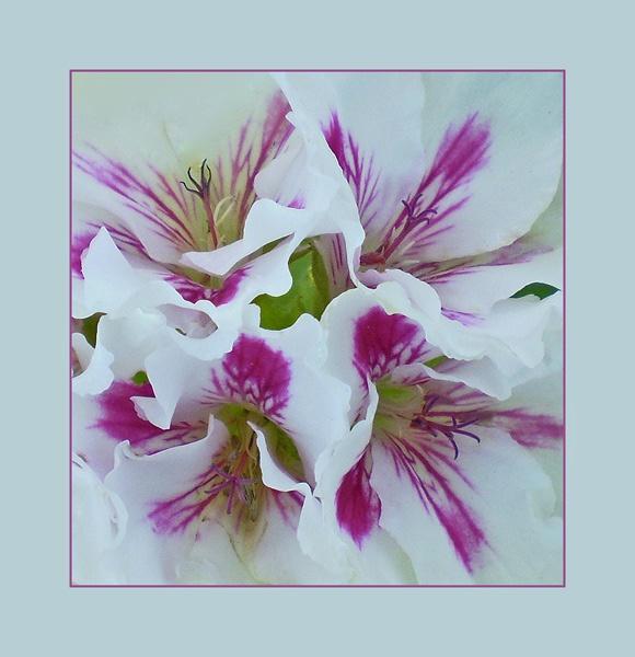 geranium by CarolG