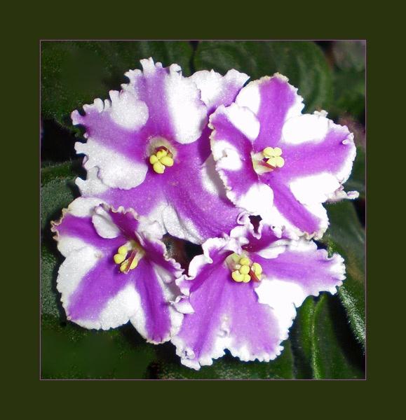 african violet by CarolG