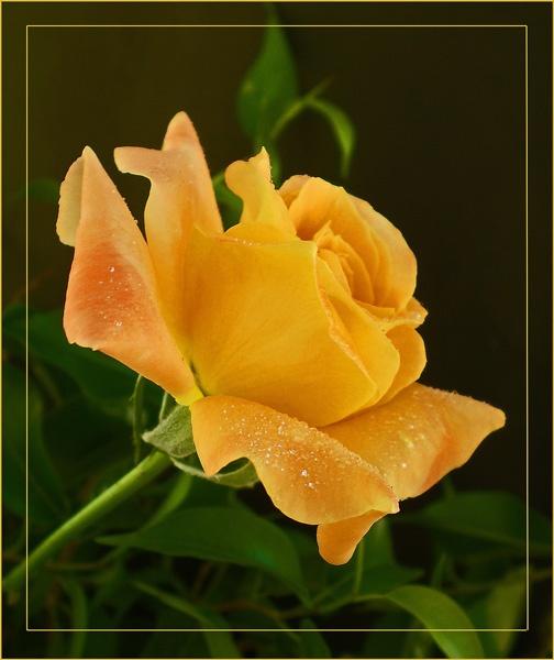 tangerine rose by CarolG