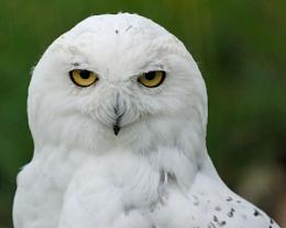 Snowy Owl_2