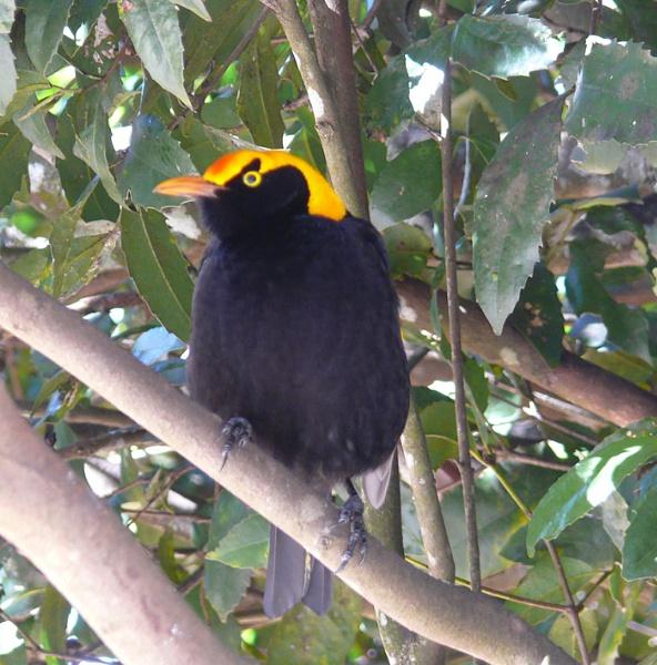 A Regent Bower Bird by auraalan