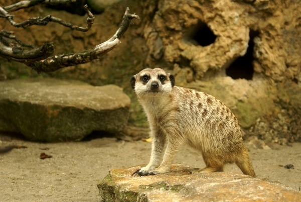 Meerkat glancing at me by kaczmarzyk_jan